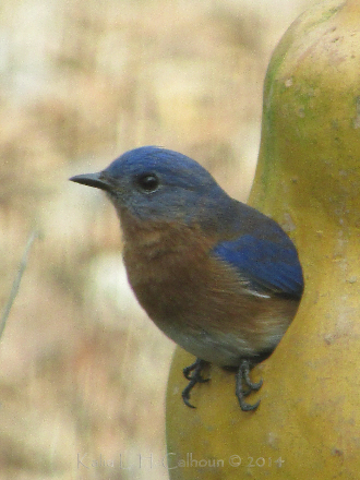 male blue bird in gourd house